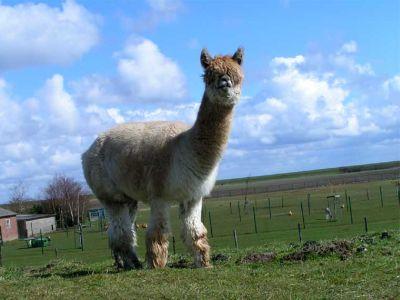 Not a llama