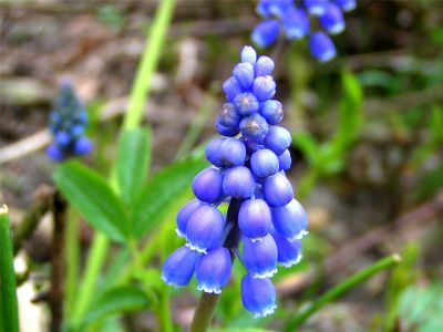 Grape hyacinth (Muscari botryoides)
