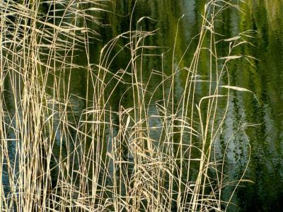 Grasses by the side of a pond