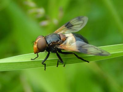 Hoverfly (I think?)