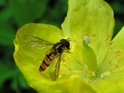 Hoverfly on yellow poppy
