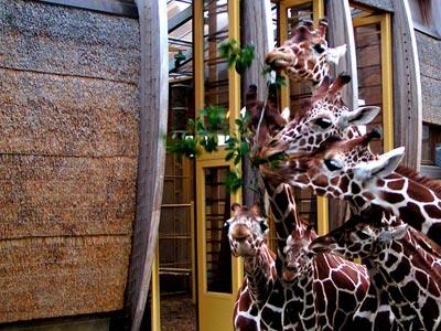 Seven giraffes, one branch