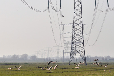 Geese and power lines