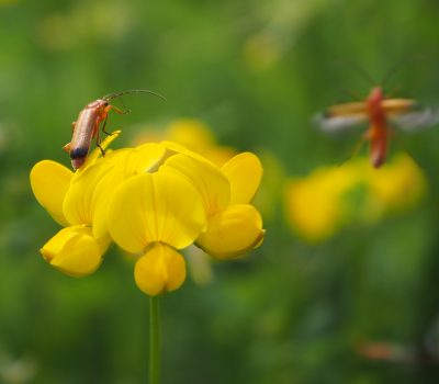 Lotus corniculatus + Rhagonycha fulva