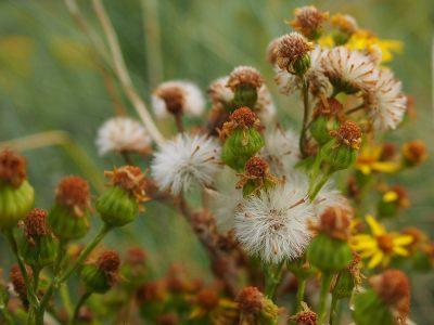 Jacobaea vulgaris (Senecio jacobaea)