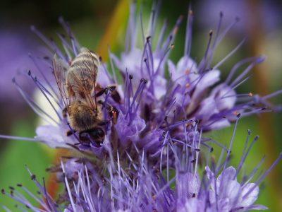 Phacelia tanacetifolia + bee