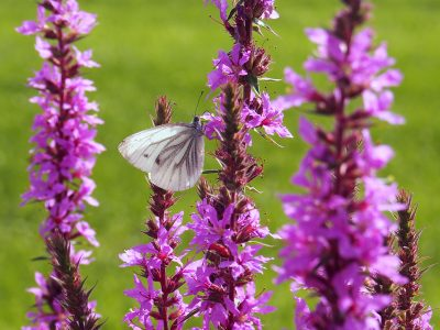 Lythrum salicaria + Pieris napi
