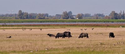 Some water buffalos, and loads and loads and loads of geese