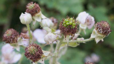 Rubus fruticosus, stage 2