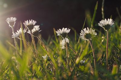 Evening daisies